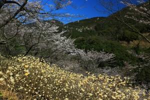 西米良村の桜 051